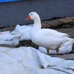 Guske (Foto: Ivan Katalinić)