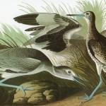 Ilustracija: ptice amerike