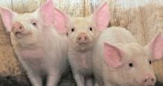 Stroge mjere opreza na svinjogojskim farmama: Svinjska kuga sve je bliže