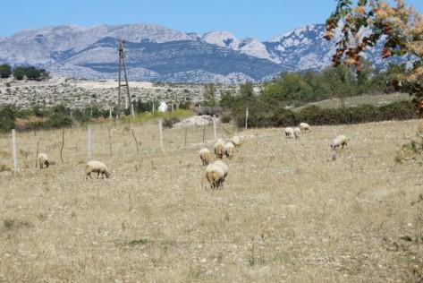 Ovce na ispaši (Foto: Ivan Katalinić)